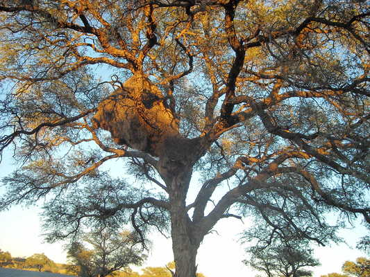Product picture Beautiful Tree Image - Namibia