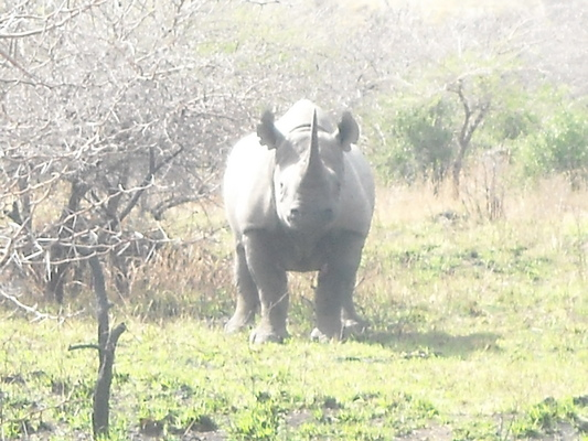 Product picture Single Rhino Image Taken In Southern Africa